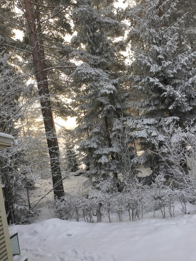 Snow in pine forest stock images