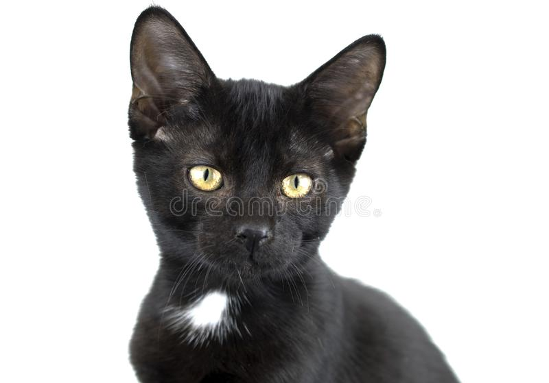 Photo noire et blanche d'adoption d'animal familier de chaton image stock