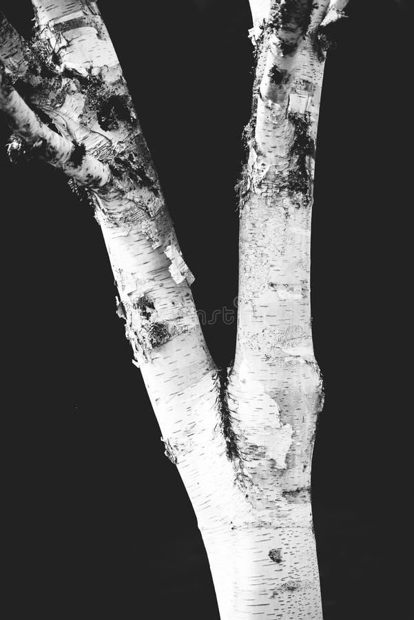 Photo noire et blanche d'arbre de bouleau images stock