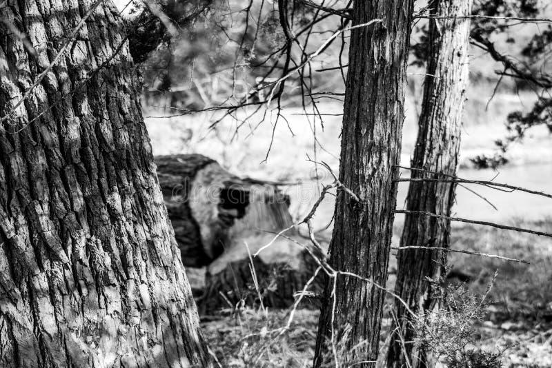 Photo noire et blanche d'un arbre réduit par des castors photographie stock