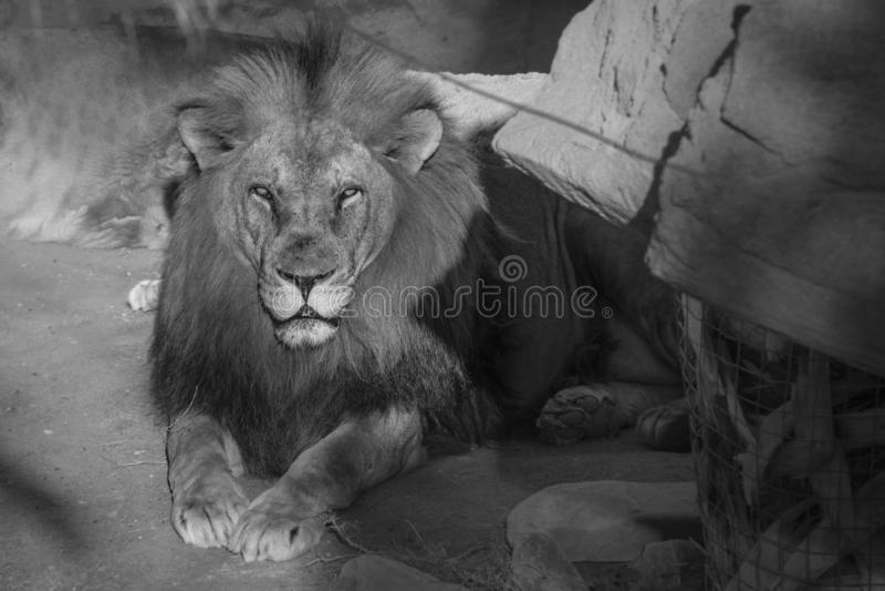 Photo noire et blanche d'un lion se couchant tout en prenant un bain de soleil photos libres de droits