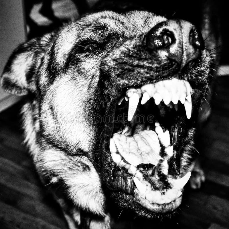 photo noire et blanche d'un plan rapproché de chien d'écorcement image libre de droits