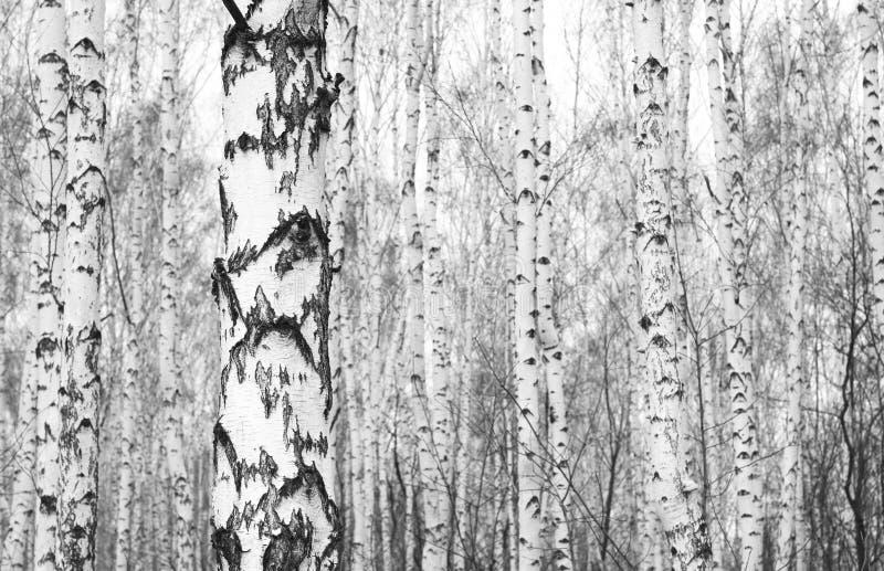Photo noire et blanche de verger de bouleau en automne image stock