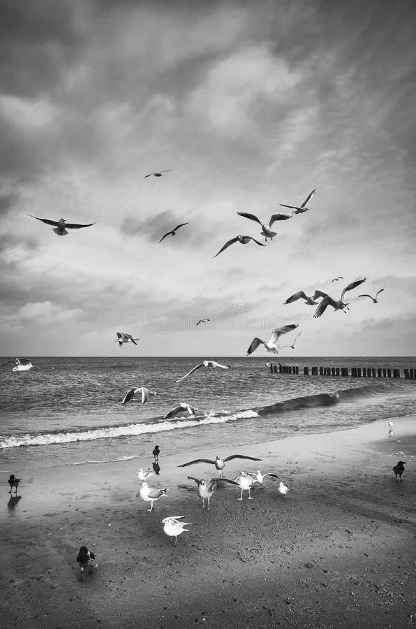 Photo noire et blanche des oiseaux sur la plage photos libres de droits