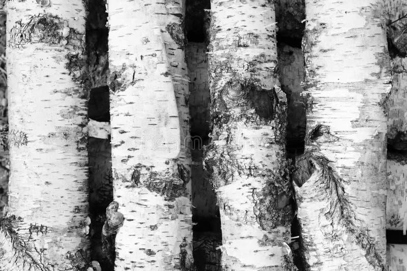 Photo noire et blanche des rondins de bouleau photo libre de droits
