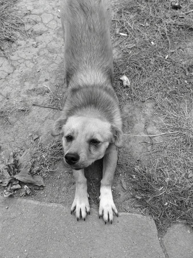 Photo noire et blanche très paresseuse de mon chien paresseux et fatigué photo libre de droits