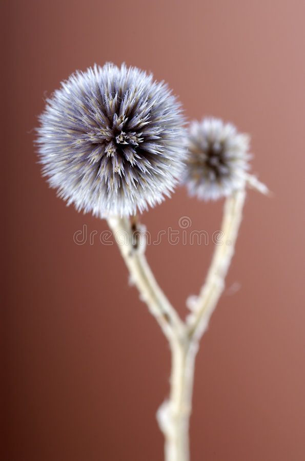 Free Photo Of Small Dry Flower Stock Photo - 2106060
