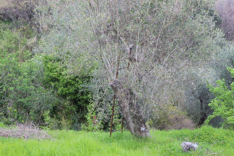 The nice old olive tree in the garden. royalty free stock photography