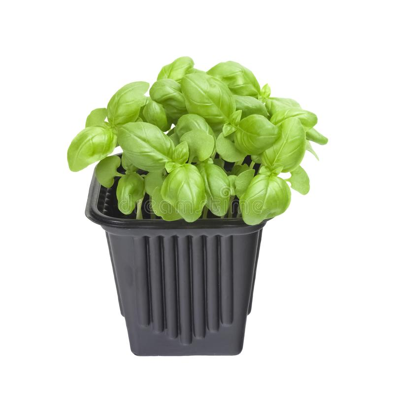 A photo of the organic basil seeds germination. Green basil sprouts in plastic pot ready for seedling. Spring background. Isolated stock images