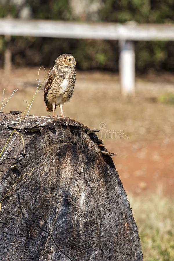Owl Athene cunicularia on tree trunk. Photo of Owl Athene cunicularia on tree trunk royalty free stock photos