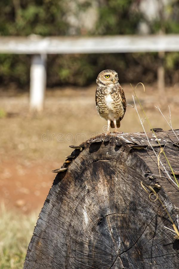 Owl Athene cunicularia on tree trunk. Photo of Owl Athene cunicularia on tree trunk stock photos