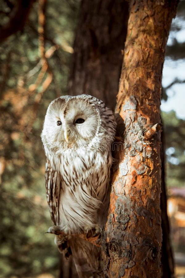 Photo of the owl in the tree. stock photography