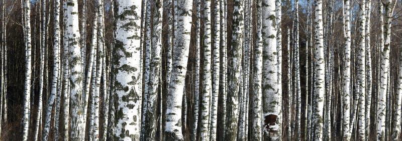 Photo panoramique de belle scène avec des bouleaux dans la forêt de bouleau d'automne photographie stock libre de droits