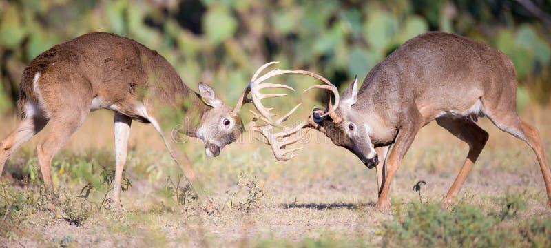 Photo panoramique du combat de deux mâles de whitetail images libres de droits