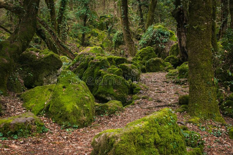 Path in the monumental forest of Sasseto, Lazio, Italy royalty free stock images