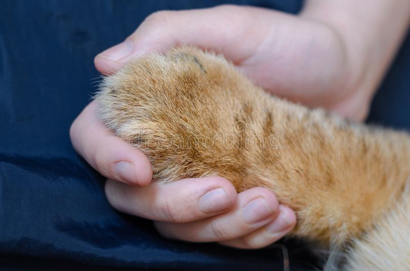 Photo of a paw of a lion cub in a human hand on a dark blue background royalty free stock photography