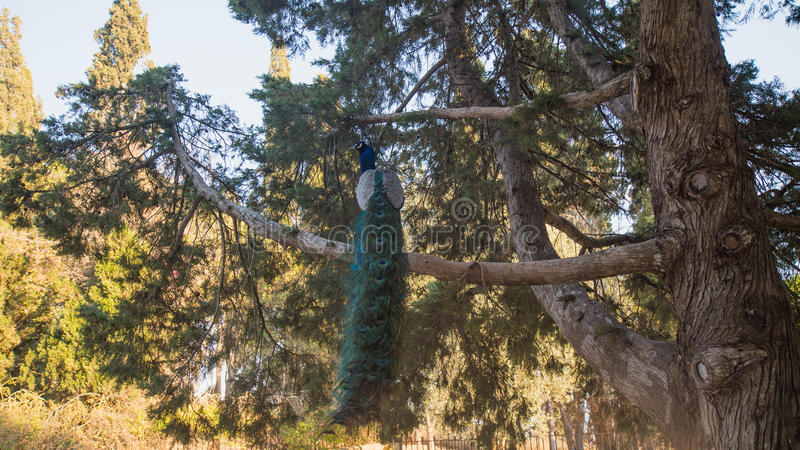 Photo of peacock sitting on the tree stock photography