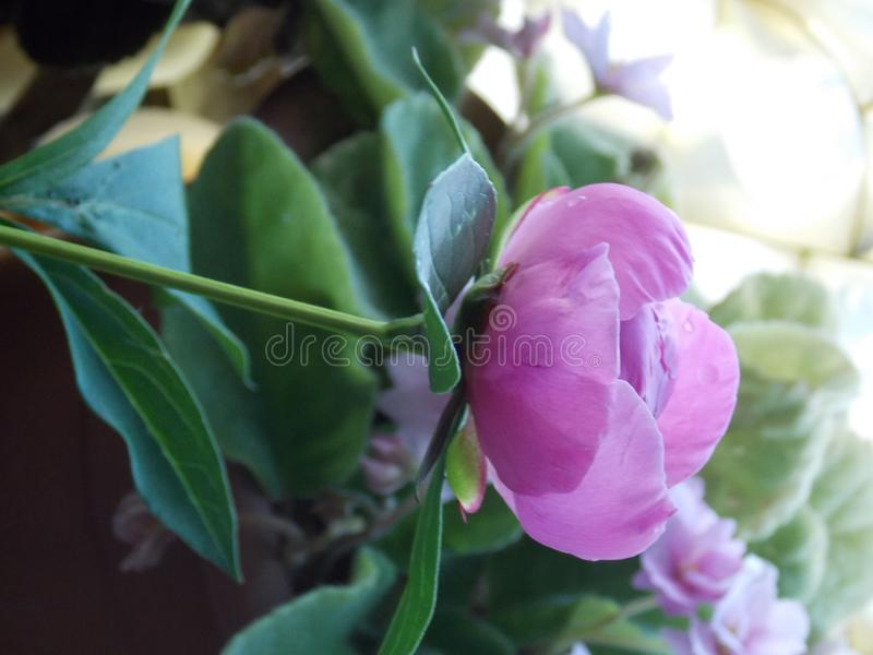 Photo of peony bud with leaves stock photo