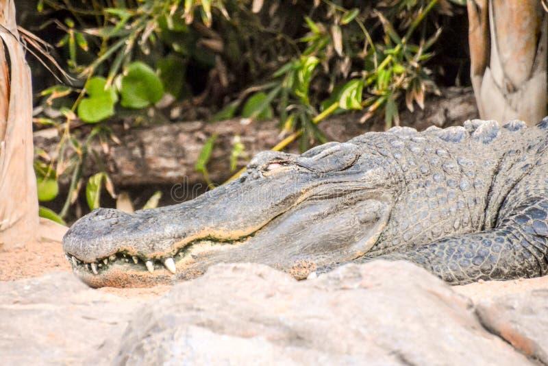 Big Brown and Yellow Amphibian Prehistoric Crocodile. Photo Picture of Big Brown and Yellow Amphibian Prehistoric Crocodile stock images