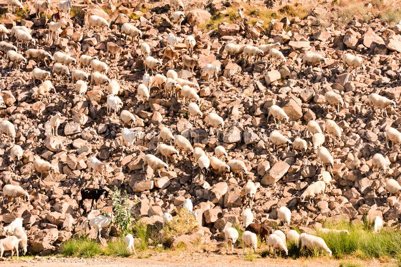 Flock of sheep. Photo picture flock of sheep in central spain royalty free stock photos