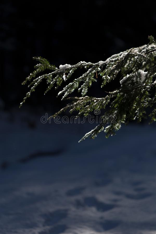 Photo of Pine Tree Leaves With Snow royalty free stock image