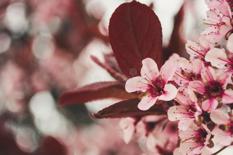Photo of Pink Cherry Blossoms royalty free stock photos