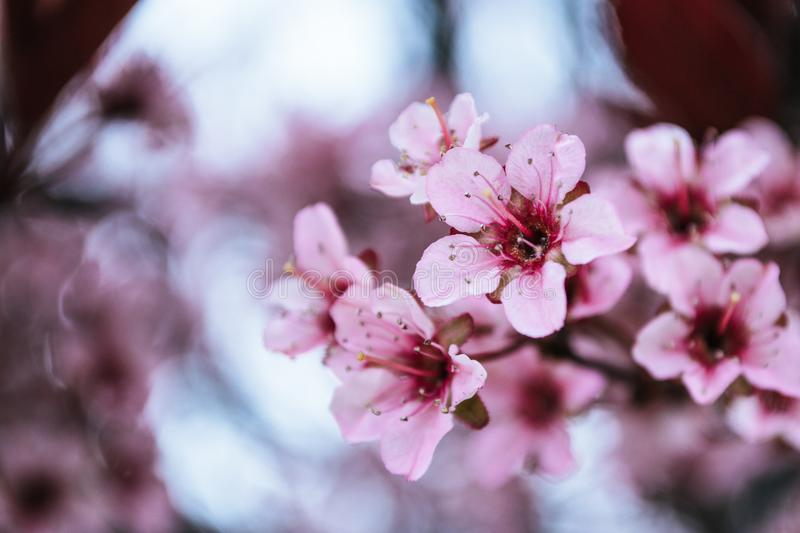 Photo of Pink Cherry Blossoms royalty free stock photography