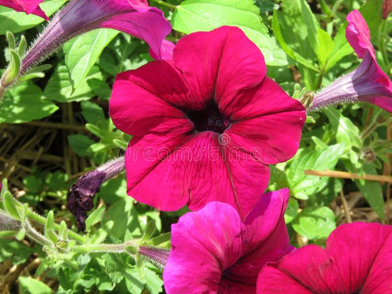 Pink Petunias in july royalty free stock photo