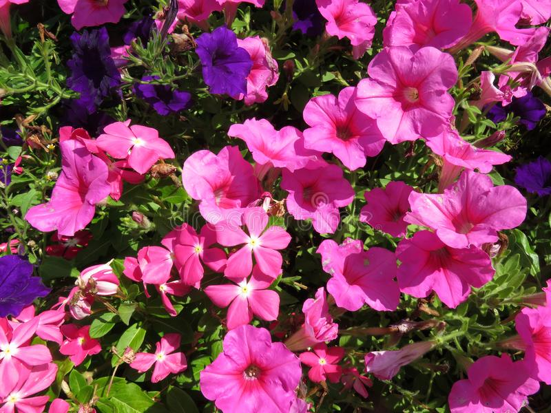 Pink and Purple Petunias During August stock photography
