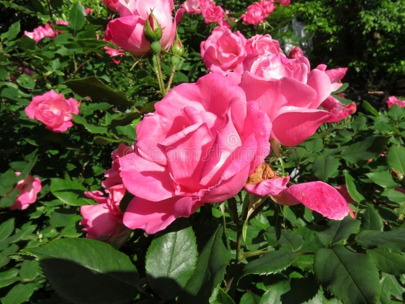 Pink Roses in the Sunlight stock photography