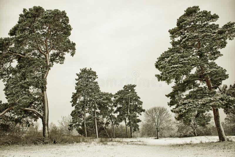 Photo pittoresque d'un verger de pin d'hiver - image de HDR avec le filtre noir d'or photos stock