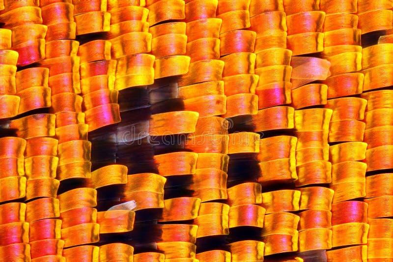 Photo pointue et détaillée extrême d'aile de mite de rhipheus d'Urania de Chrysiridia Mite de coucher du soleil de Madagascan images libres de droits