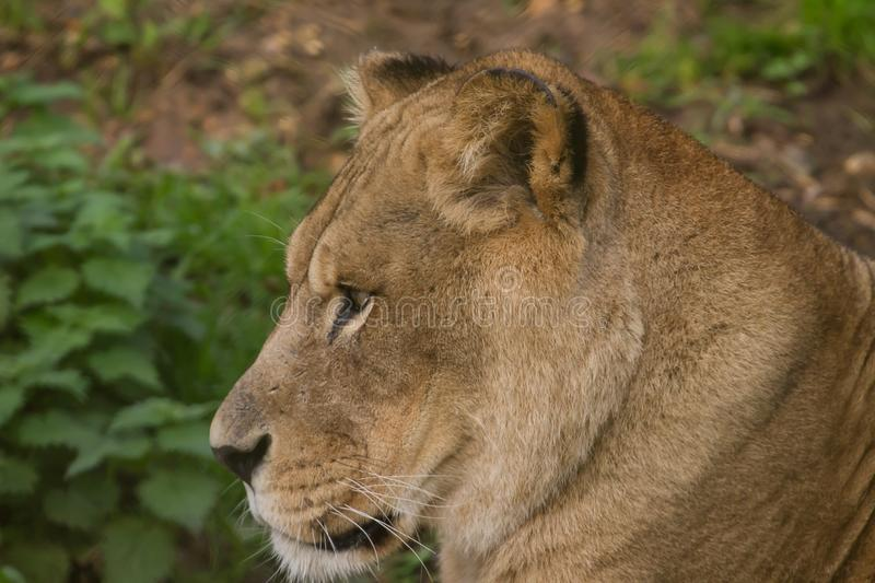Closeup photo portrait of a beautiful Barbary lioness. Photo portrait of a beautiful adult Barbary lioness looking at something stock images
