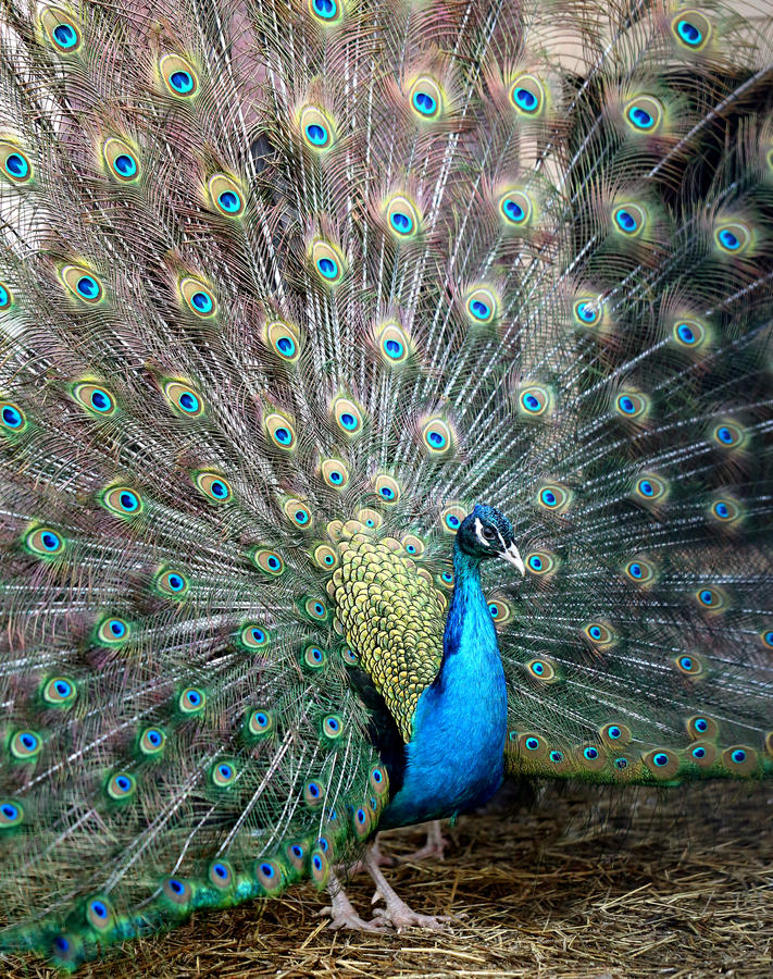 Photo portrait of beautiful peacock stock photography