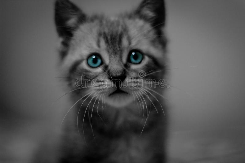 Photo portrait of a white cat with blue eyes. Elaborated with a lens of 50mm to 1.8. Perfect if you are looking for cats with penetrating eyes and desaturated royalty free stock photography