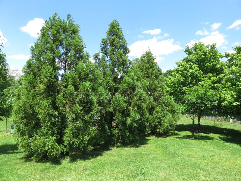Pretty Green Trees in Spring in May stock photography