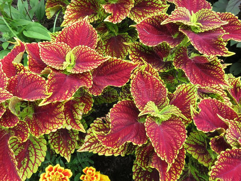 Pretty Red and Green Leaves in Summer in June. Photo of pretty red and green leaves in summer in june stock images