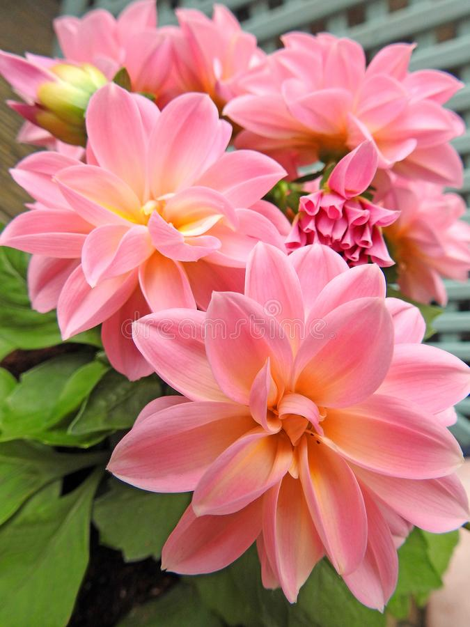 Springtime potted pink dahlias in bloom. Photo of pretty springtime potted dahlias in full bloom in a small space garden may 2018 royalty free stock photos