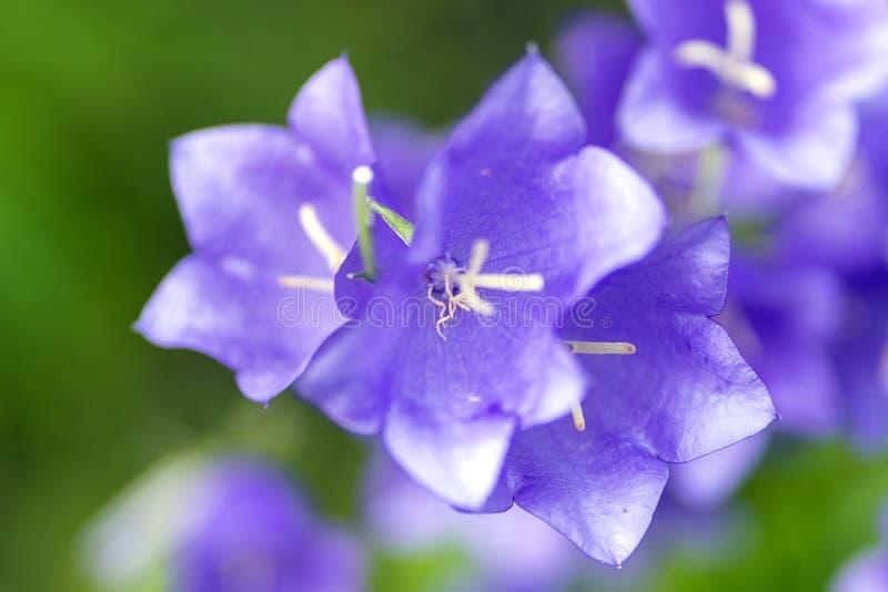 Photo of purple bells in soft macro focus stock image
