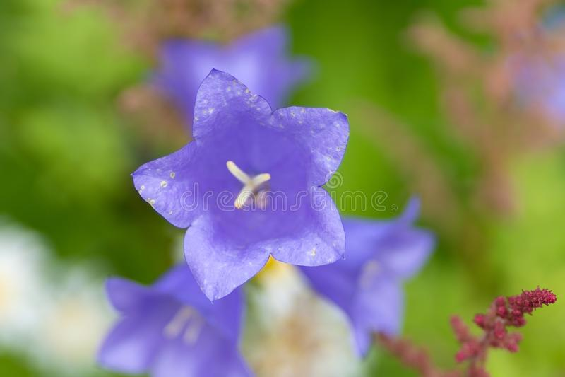 Photo of purple bells in soft macro focus stock photography