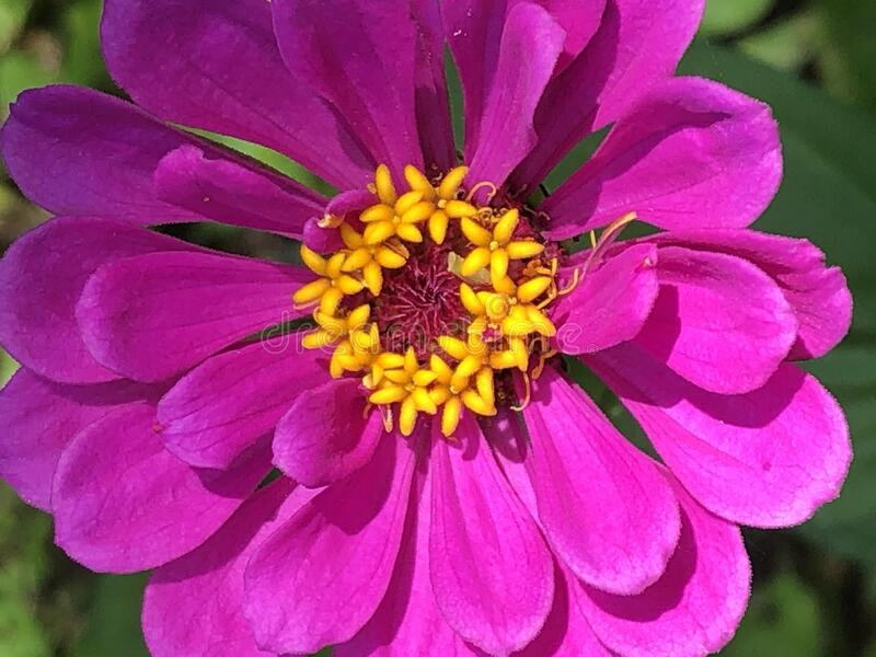 Photo of a purple flower. royalty free stock photo