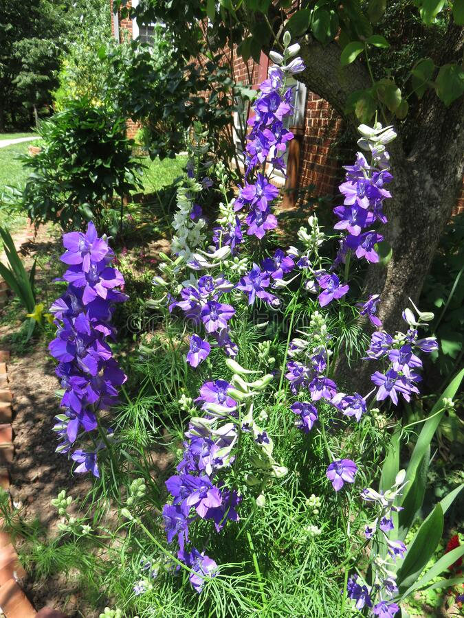 Purple Flowers in the Neighborhood royalty free stock photo
