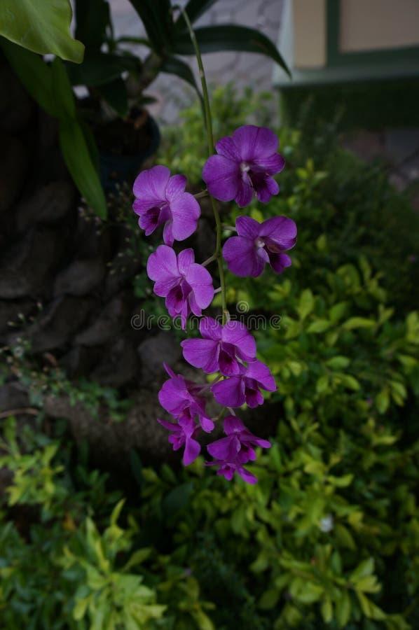 Closeup of purple Vanda coerulea Griff orchids flowers. A photo of purple Vanda Miss Joaquim orchids flowers Vanda coerulea Griff, Orchidaceae , close up stock photography