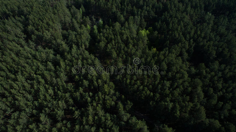 Photo from the quadrocopter of coniferous forest in summer. Aerial view of nature from above stock image