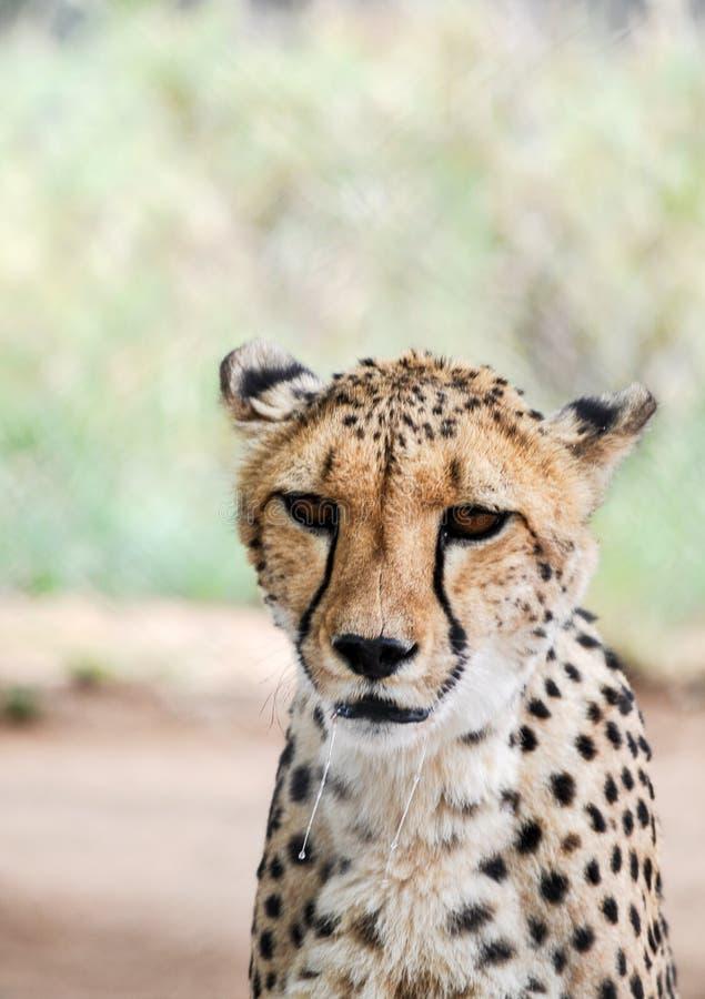 Mighty Cheetah stock photography
