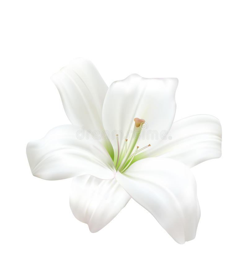Photo-realistic Beautiful White Lily Isolated On White Background. Illustration Photo-realistic Beautiful White Lily Isolated On White Background - Vector stock illustration