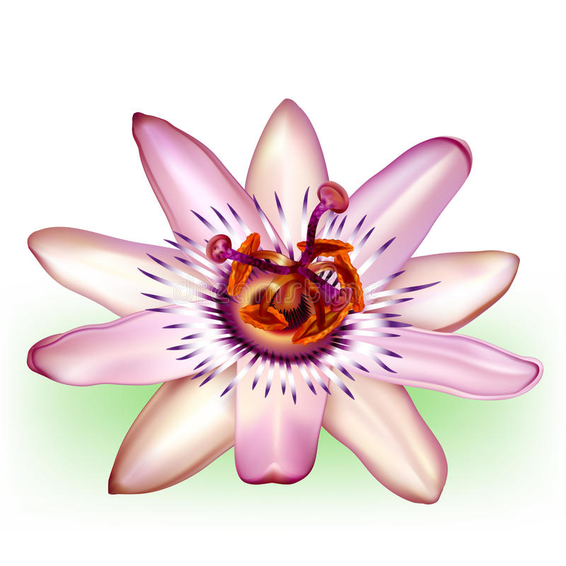 Photo-realistic passion flower. Vector photo-realistic beautiful Passion Flower vector illustration
