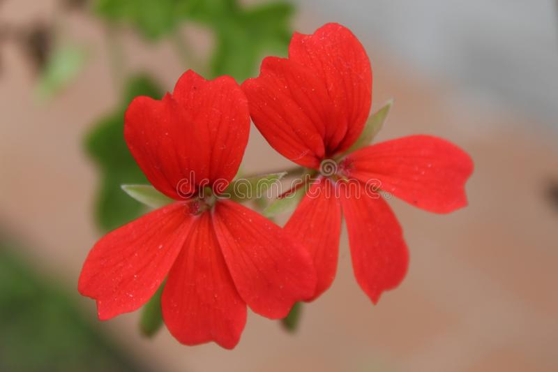 The nice red flower in the garden. stock image