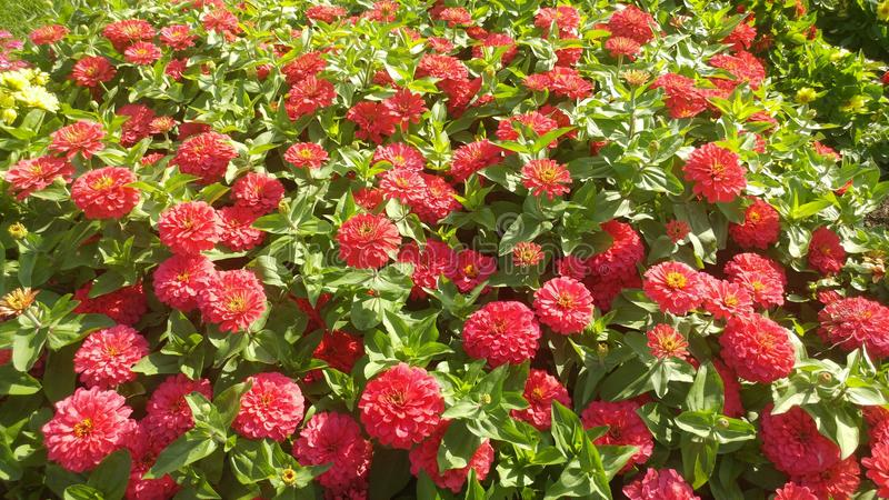 Red flowers on a green leafy background. Photo of Red flowers on a green leafy background royalty free stock images