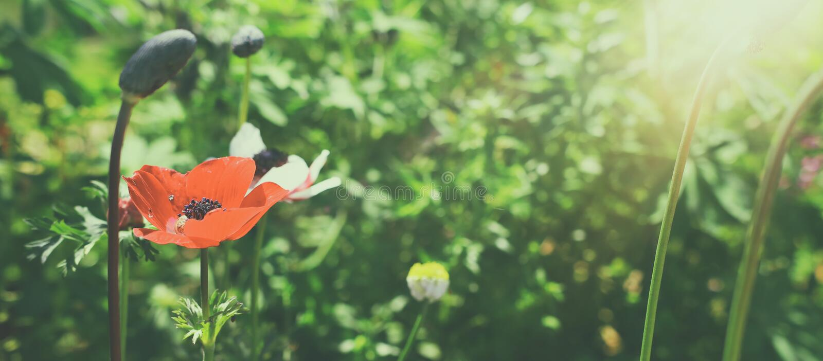 Photo of red poppies in the green field.  stock photo